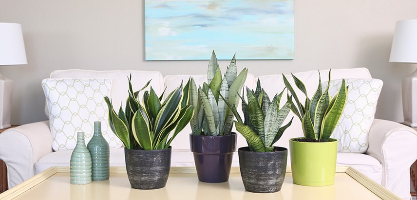 Indoor plants for apartments